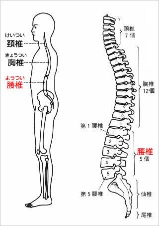 脊柱の構造