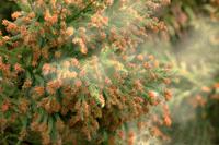 花粉症は、なぜ現代病なのか、を考える